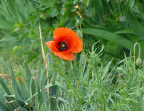 Blooming Poppy. Beautiful blooming red poppy in the grass Stock Photography