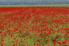 Blooming poppy big field with seed heads Royalty Free Stock Images