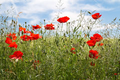 Blooming poppy field Stock Photography