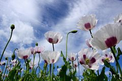 Blooming poppy field. With blue sky Stock Image