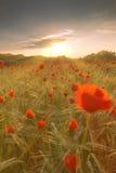 Blooming Poppy Field In Warm Evening Light Stock Photos