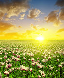 Blooming poppy field at sunset sky. Stock Image