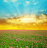 Blooming poppy field at sunset sky. Stock Photography