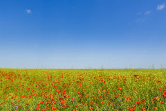 Blooming poppy field Stock Photos