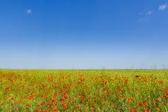 Blooming poppy field Stock Photos