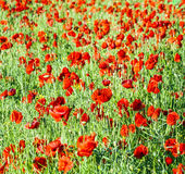 Blooming poppy flowers Stock Image