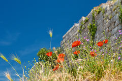 Blooming Poppy Flowers. In summer day and blue sky in Kotor, Montenegro Stock Images