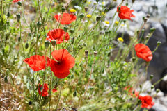 Blooming Poppy Flowers. In summer day in Kotor, Montenegro Stock Image