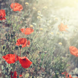 Blooming Poppy Flowers. In summer day in Kotor, Montenegro Stock Images