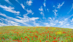 Blooming poppy meadow Stock Photos