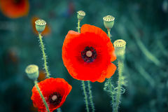 Blooming poppy. Royalty Free Stock Photos