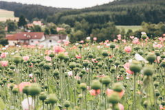 Blooming poppy seed field at the countryside of Austria Royalty Free Stock Photo