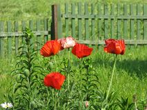 Blooming poppy in summer royalty free stock images