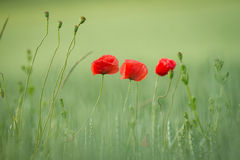 Blooming poppy Stock Photo