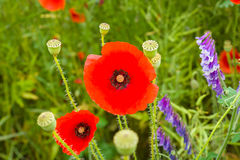 Blooming poppy. Royalty Free Stock Image