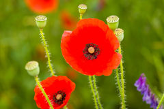 Blooming poppy. Royalty Free Stock Photography