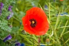 Blooming poppy. Stock Photos