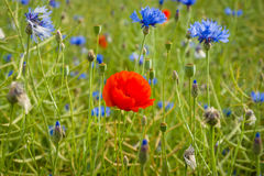 Blooming poppy. Stock Images