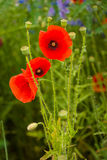Blooming poppy. Stock Photography