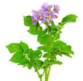 Blooming Potato stock photos