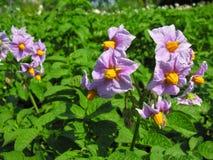 Blooming potato Stock Image