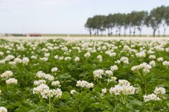 Blooming potato field in the Netherlands Stock Photo