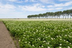 Blooming potato field in the Netherlands Stock Images