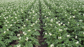 Blooming potato field Royalty Free Stock Photos