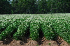 Blooming Potato Field in Wisconsin Stock Photography