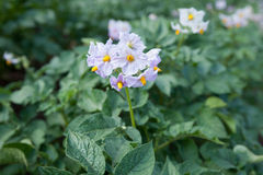 Blooming potato flower on the background of green potato plants Royalty Free Stock Photography