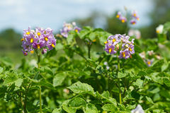 Blooming  potato. Blooming flowers of potato plant Stock Images