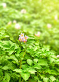 Blooming potatoes with green leaf Royalty Free Stock Photography