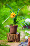 Blooming potted Clivia plant, colorful garden Stock Photos