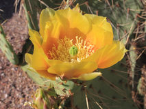 Blooming Prickly Pear Cactus Stock Photo