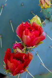 Blooming Prickly Pear Cactus Stock Image