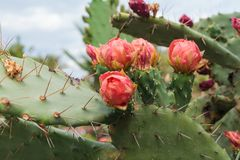 Blooming Prickly Pear with cactus fruits and flowers stock photos