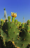 Blooming Prickly Pear cactus with yellow flowers Stock Photography