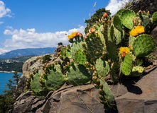 Blooming prickly pear growing on a rocky ledge near the sea stock image