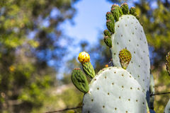 Blooming Prickly Pear stock photography