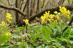 Blooming primrose - Primula officinalis. Blooming yellow primrose ( Primula officinalis ) in the forest Royalty Free Stock Photo
