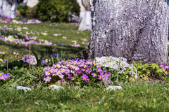 Blooming primroses around a tree Royalty Free Stock Photography