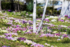 Blooming primroses around a tree Stock Photography