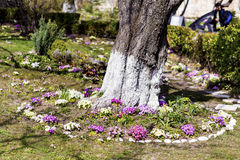 Blooming primroses around a tree Stock Images