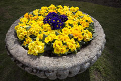 Blooming primroses in a stone pot Castle in Hluboka nad Vltavou, Czech Republic Royalty Free Stock Image