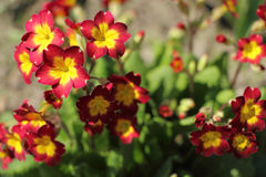 Blooming Primula closeup in the garden. Red-telnye flowers primrose in the garden Royalty Free Stock Photos