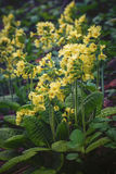 Blooming primula veris on mountain meadow Royalty Free Stock Photos