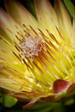 Blooming protea flower Stock Photos