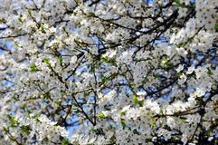 Blooming Prunus cerasifera at Springtime royalty free stock images