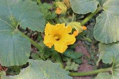 Blooming pumpkin flower. A yellow blooming pumpkin flower stock images