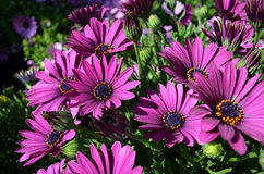 Blooming purple African daisy. Close up purple Afican daisies Royalty Free Stock Image